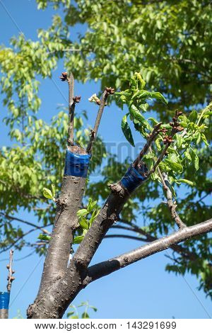 Grafting On Fruit Tree
