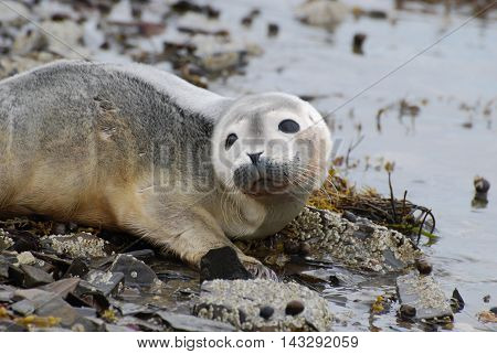 Adorable face of a baby harbor seal pup.