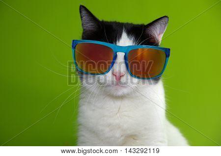 Portrait of black and white cat in sunglasses.