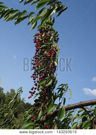 Sambucus black and red berries on a blue sky background.