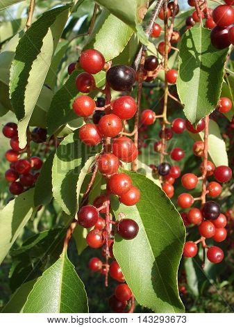 Sambucus red berries and green leaves .