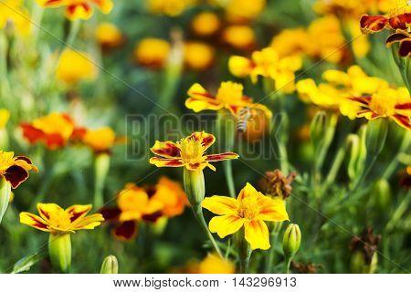 Marigold Flowers, Yellow Marigold Flowers In The Garden, Yellow And Orange Marigolds.