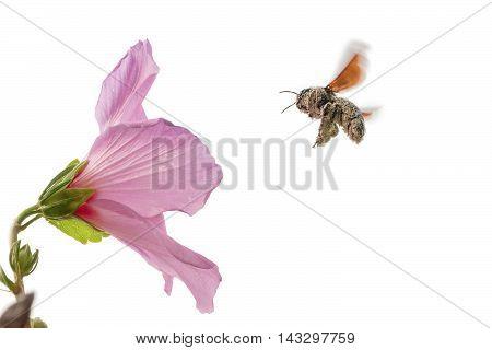 flying apidae xylocopinaeblack bumblebee pollinating a pink hibiscus flower