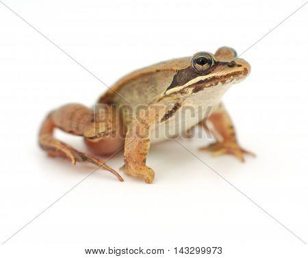 little frog on white background, wood frog