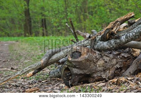 Pile Of Firewood In Forest
