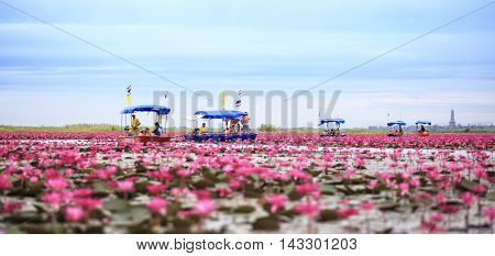 Udon ThaniThailand - December 52014 : Thai tourist take boat visiting sea of red water lily festival at Nonghan lake in Udon ThaniThailand.