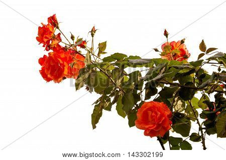 the blossoming orange roses are isolated on a white background