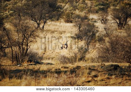 One Oryx (Gemsbock) standing in the bushes in Namibia Africa