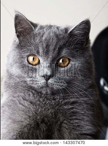 British blue cat lying on a light background. Home lovely pet portrait.