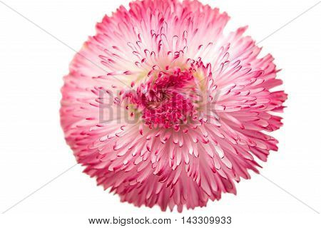 marguerite purple isolated on a white background