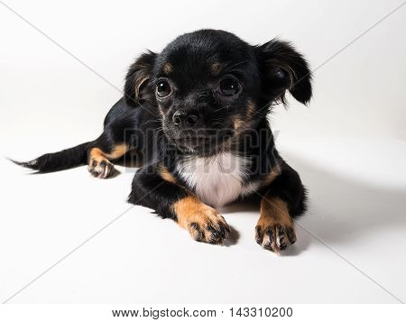 A Long-Haired Chihuahua puppy on white background