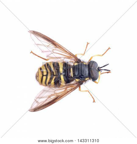 Black yellow striped fly isolated on a white background