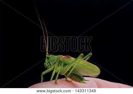 Green grasshopper on hand isolated on a black background