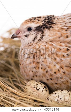 Cute adult quail with eggs in the straw nest over white background