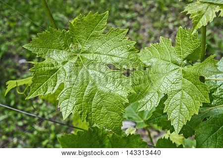 Domestic vine that grows in home gardens.