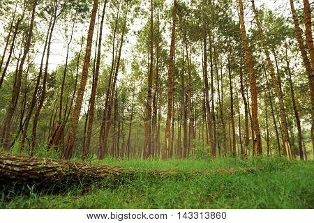 Wild summer forest rubber landscape in nature