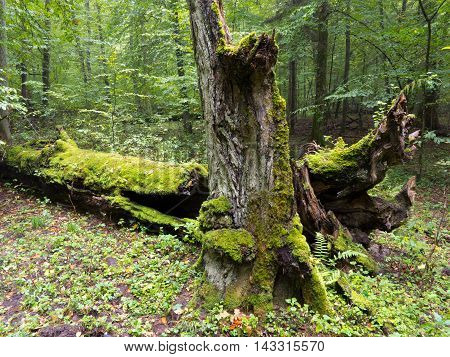Moss wrapped old hornbeam tree stump and part of tree lying behind, Bialowieza Forest, Poland, Europe