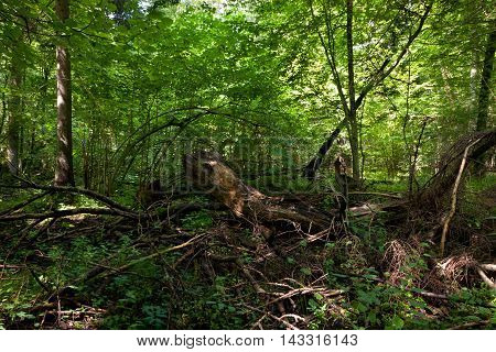 Dead broken trees moss wrapped with nettle grows over in summertime shady stand, Bialowieza Forest, Poland, Europe
