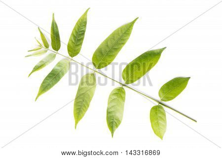 Close up green leaves on white background