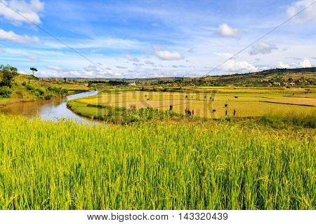 Rice Fields And River In African Landscape