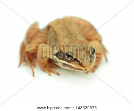 brown wood frog on white background isolated