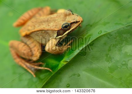 brown wood frog in a pond in nature
