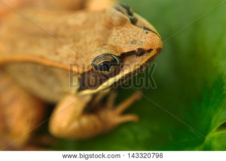 brown wood frog macro closeup in a pond