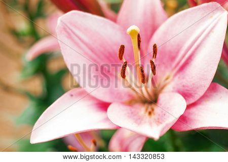 Zephyranthes flower. Common names for species in this genus include fairy lily rainflower zephyr lily magic lily Atamasco lily and rain lily