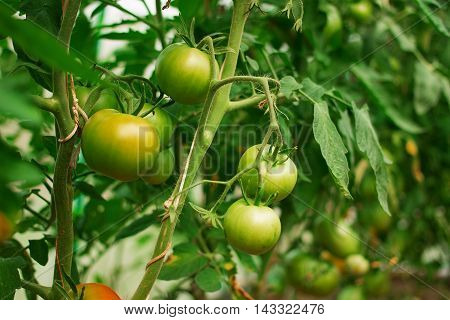 Hydroponic tomato growing in a greenhouse. Hydroponic tomato