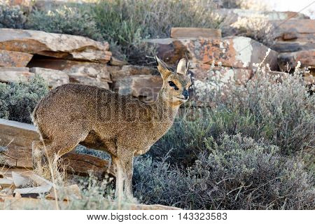 Klipspringer- Wildlife park an enclosed area of land where uncaged wild animals roam fairly freely in conditions designed to mimic their natural habitat as closely as possible.