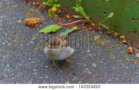 Life on asphalt. A baby bird among a stone.