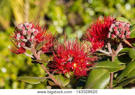 closeup of red pohutukawa tree flowers and buds