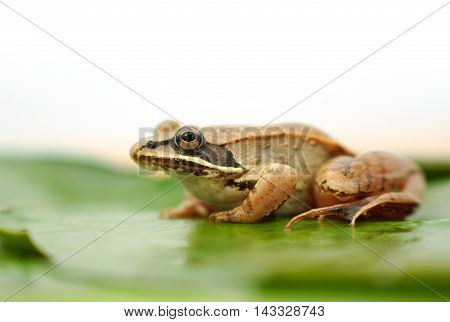 brown wood frog on leaf in a pond with white background