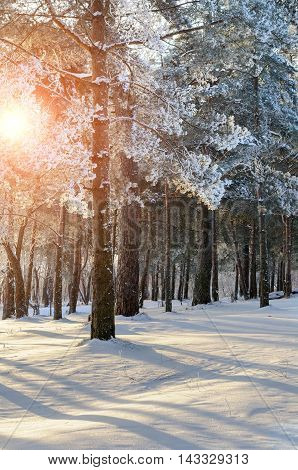 Frosty winter trees under bright winter sunlight in winter forest. Winter forest landscape with winter frosty trees in winter sunset - colorful winter forest view. Sunset view of winter forest nature.