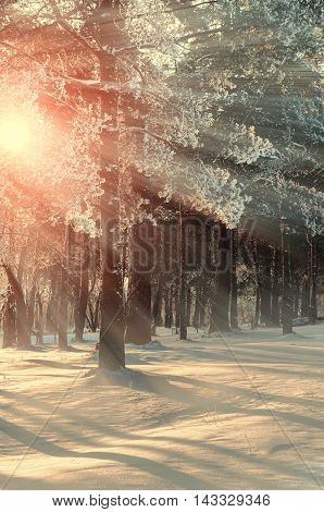 Early winter morning in the forest. Frosty winter trees under bright sunrise winter sunbeams. Winter forest landscape with the winter frosty trees in winter sunset - colorful winter forest view.