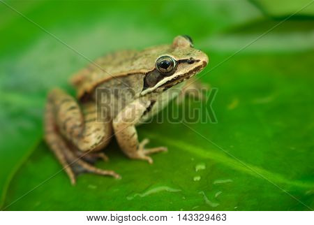 brown wood frog on green waterlily leaf in a pond