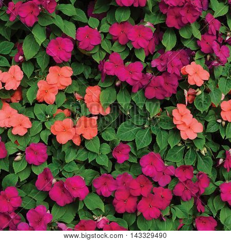 Impatiens Walleriana Sultanii Busy Lizzie Flowers, Large Detailed Colorful Vertical Background Closeup Pattern,  Magenta, Purple, Red, Pink, Aka Divine New Guinea Balsam, Sultana, Balsamina, Balsaminaceae, Flowering  Herbaceous Perennial Plant Bed Texture
