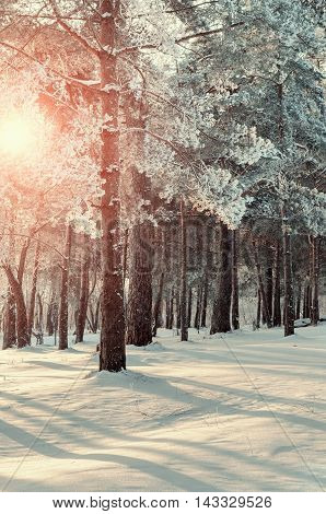 Frosty winter trees lit by bright winter sunlight in winter forest. Winter forest landscape with winter frosty trees in winter sunset -colorful winter forest view. Sunset view of winter forest nature.