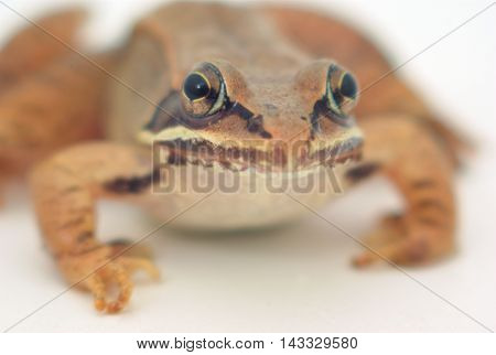 brown frog on white background, wood frog closeup