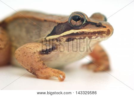 little frog on white background, wood frog closeup