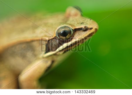 brown wood frog on green waterlily leaf in nature