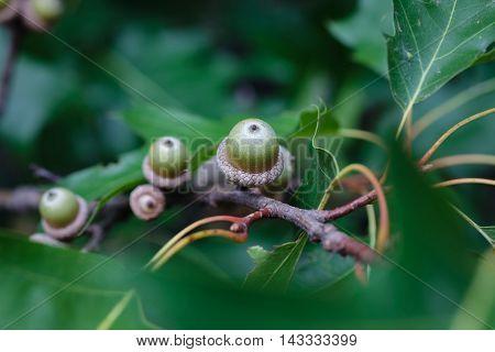 Big Ripe Acorns On The Branch