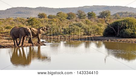 Picture of 2 elephants and an African fish eagle at a waterhole in Madikwe game reserve in South Africa.