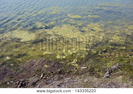 Algae growing on a small lake in the Wesmere Country Club of Joliet, Illinois during April.