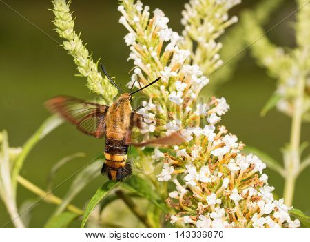 Snowberry Clearwing moth in flight, feeding on white flower cluster of a Butterfly bush