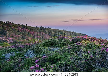 Grassy Ridge Covered in Rhododendron at Sunset