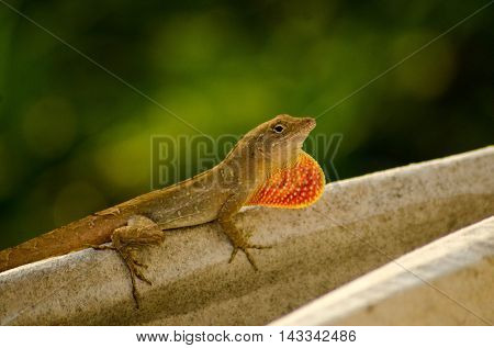 Brown Anole performing mating show to female