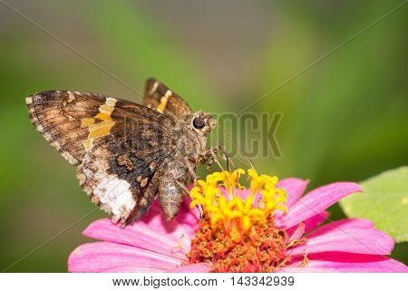 Achalarus lyciades, Hoary Edge butterfly on a pink Zinnia