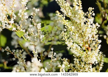 Bushy White Flowers