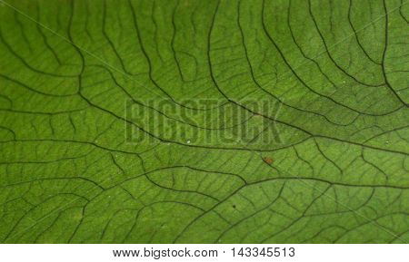 Close up photograph of the veins on a leaf.